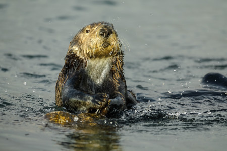 """Sea Otter In Late Afternoon Light""     Monterey Bay, California"