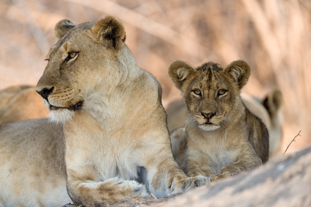 """Lioness and Cub (Salt Pan Pride)""     South Luangwa National Park, Zambia"