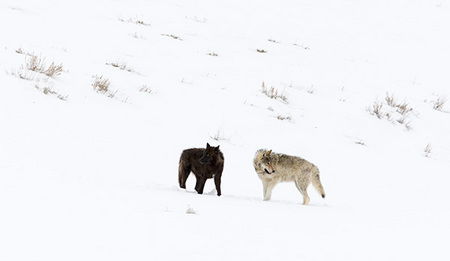 """Druid Peak Pack Members II""   (Gray Wolves, 2008), Lamar Valley, Yellowstone National Park, Wyoming"