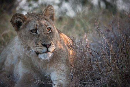 """Adolescent Lion in Evening Light""     Timbavati Game Reserve, South Africa"