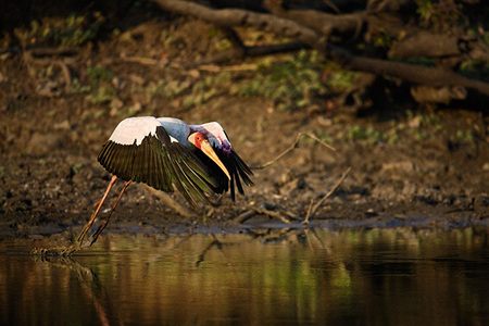 """Yellow Billed Stork Taking Off""     South Luangwa National Park, Zambia"
