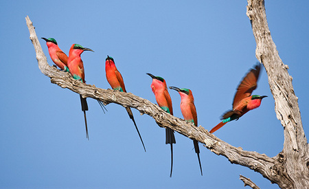 """Carmine Bee-Eaters - First Arrival""     South Luangwa National Park, Zambia"