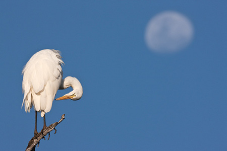 """Great White Egret and Moon""     South Luangwa National Park, Zambia"