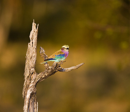 """Lilac Breasted Roller""     South Luangwa National Park, Zambia"