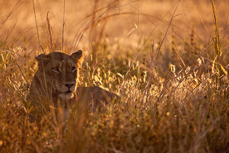 """Lioness in Fading Light""     South Luangwa National Park, Zambia"